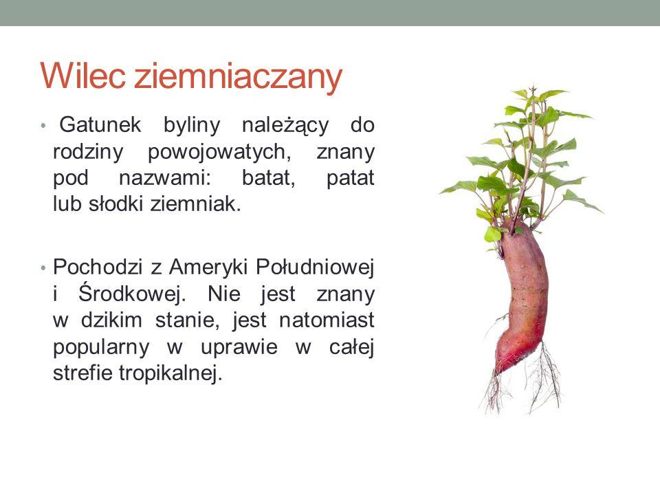 Wilec ziemniaczany Gatunek byliny należący do rodziny powojowatych, znany pod nazwami: batat, patat lub słodki ziemniak.