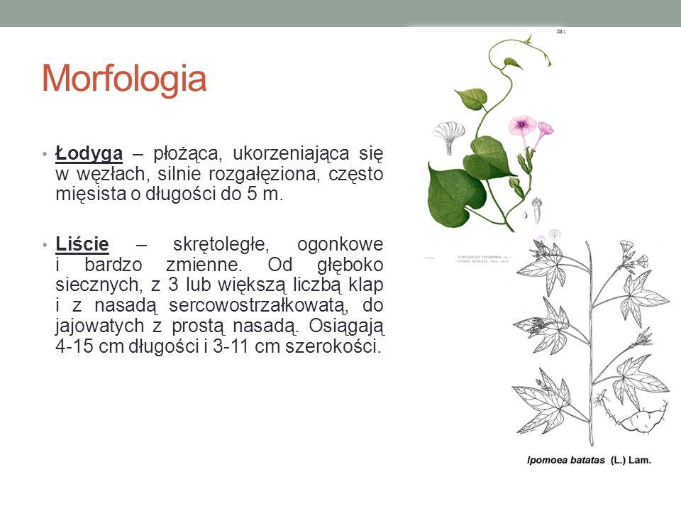 Morfologia Łodyga – płożąca, ukorzeniająca się w węzłach, silnie rozgałęziona, często mięsista o długości do 5 m.