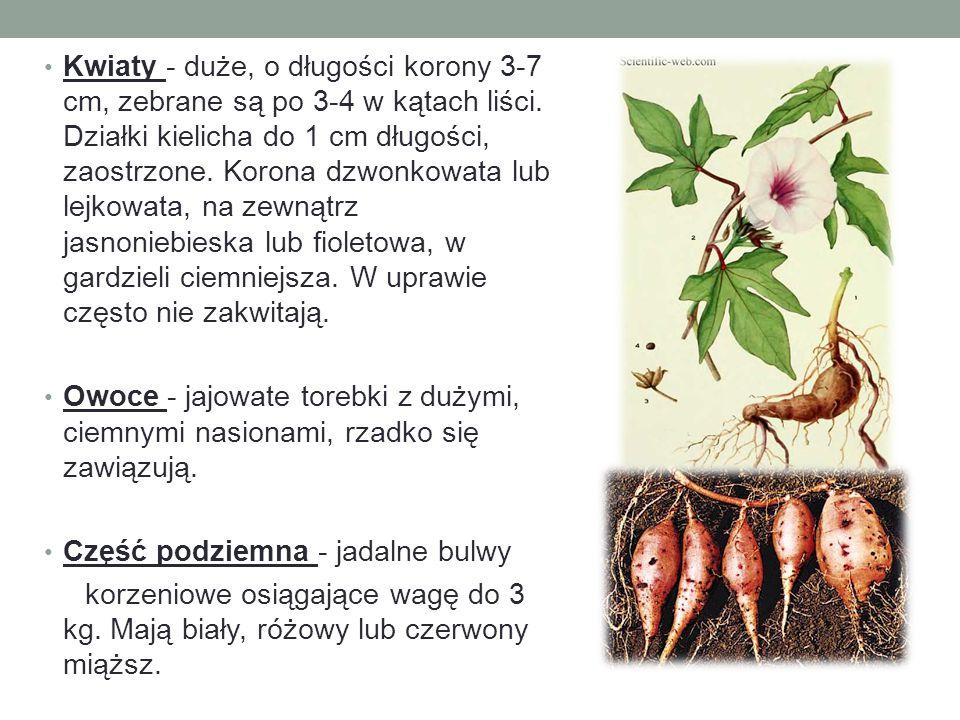 Kwiaty - duże, o długości korony 3-7 cm, zebrane są po 3-4 w kątach liści. Działki kielicha do 1 cm długości, zaostrzone. Korona dzwonkowata lub lejkowata, na zewnątrz jasnoniebieska lub fioletowa, w gardzieli ciemniejsza. W uprawie często nie zakwitają.