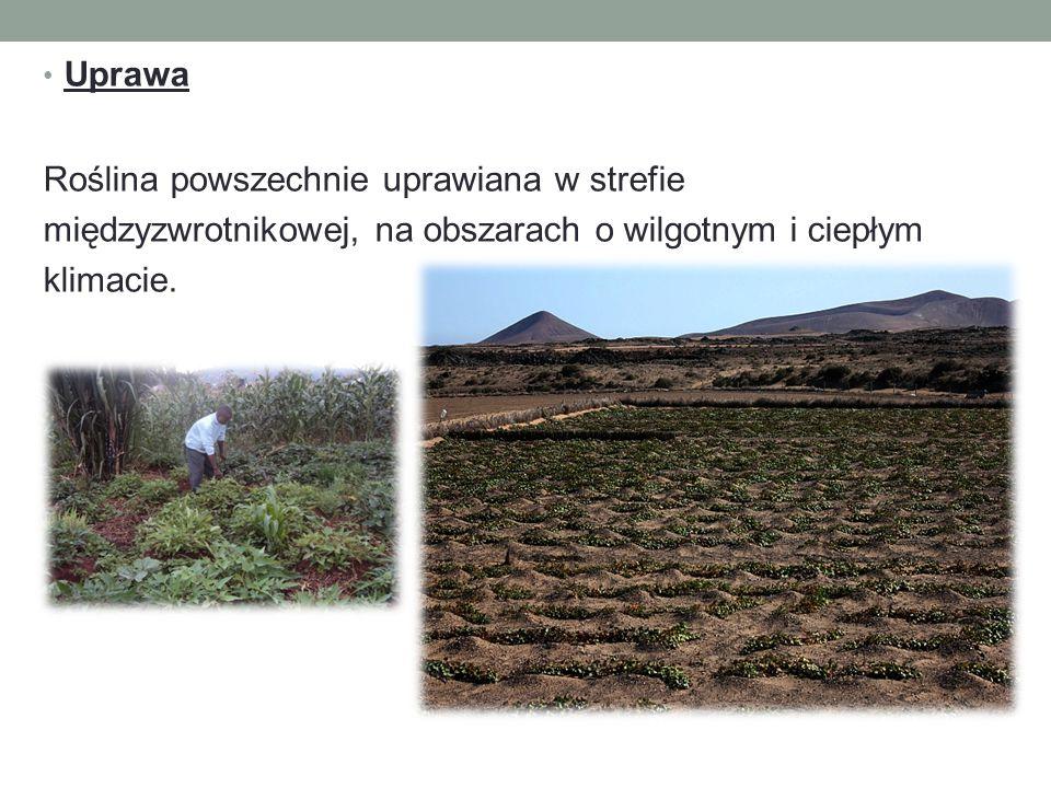 Uprawa Roślina powszechnie uprawiana w strefie międzyzwrotnikowej, na obszarach o wilgotnym i ciepłym klimacie.