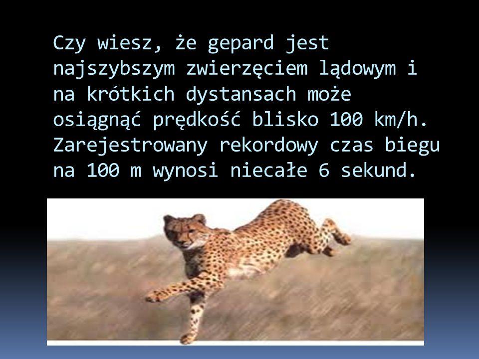 Czy wiesz, że gepard jest najszybszym zwierzęciem lądowym i na krótkich dystansach może osiągnąć prędkość blisko 100 km/h.