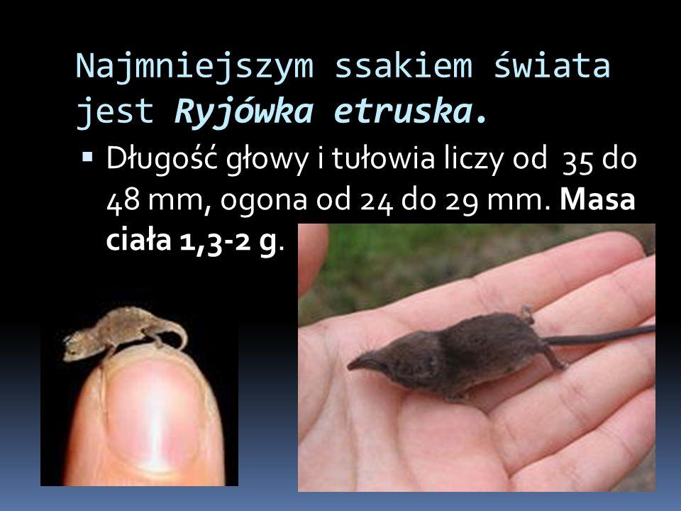 Najmniejszym ssakiem świata jest Ryjówka etruska.