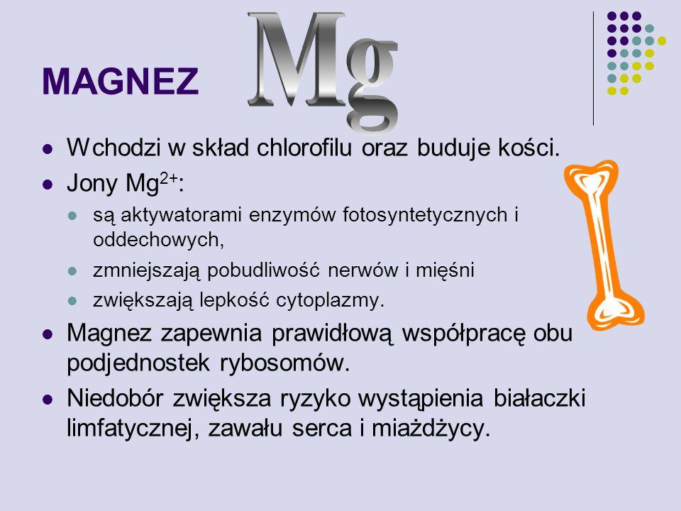 MAGNEZ Mg Wchodzi w skład chlorofilu oraz buduje kości. Jony Mg2+:
