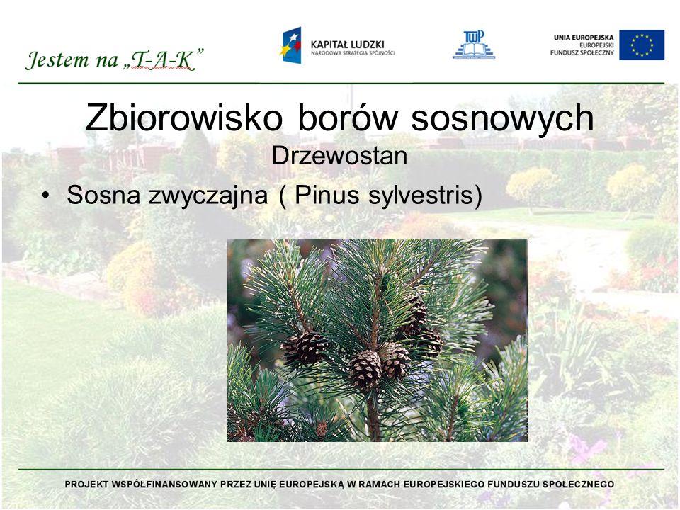 Zbiorowisko borów sosnowych Drzewostan