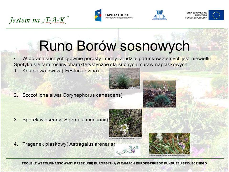 Runo Borów sosnowych W borach suchych głównie porosty i mchy, a udział gatunków zielnych jest niewielki.