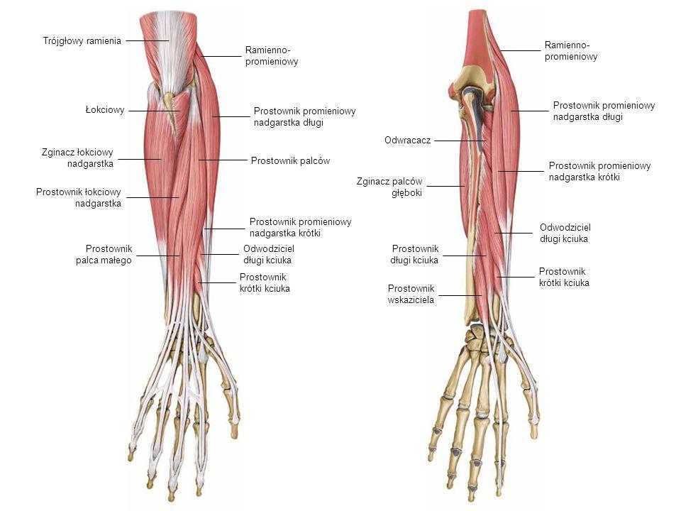 Trójgłowy ramienia Ramienno- promieniowy. Ramienno- promieniowy. Prostownik promieniowy nadgarstka długi.