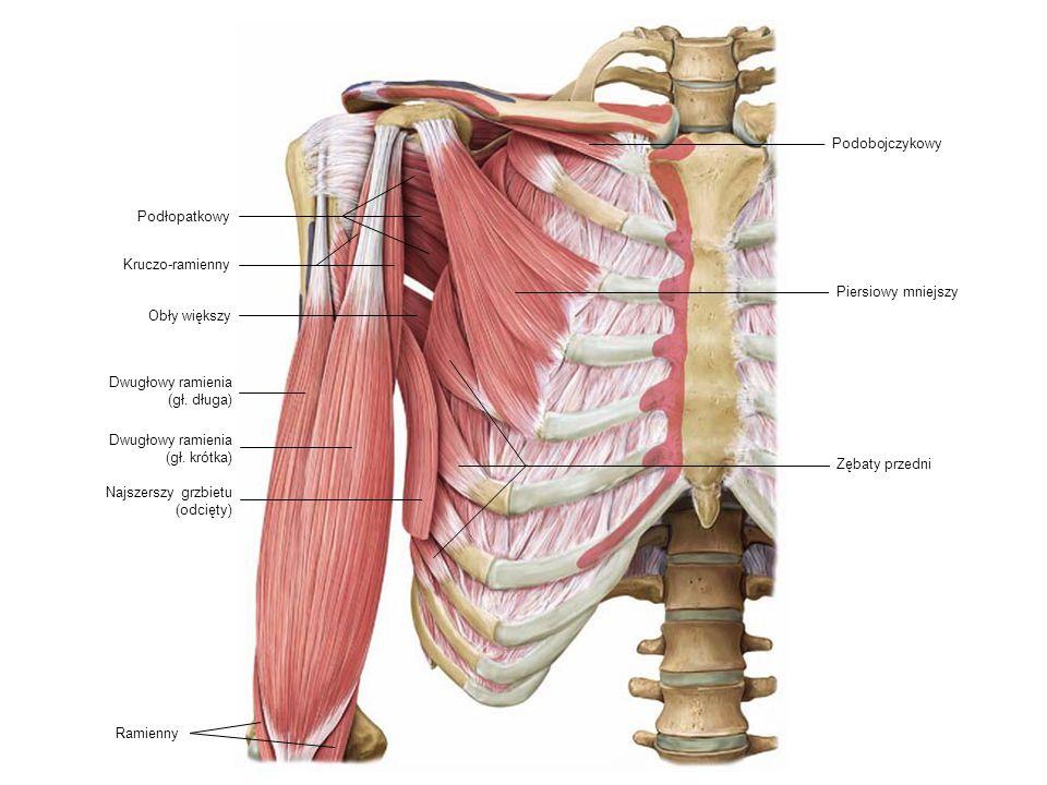 Podobojczykowy Podłopatkowy. Kruczo-ramienny. Piersiowy mniejszy. Obły większy. Dwugłowy ramienia.