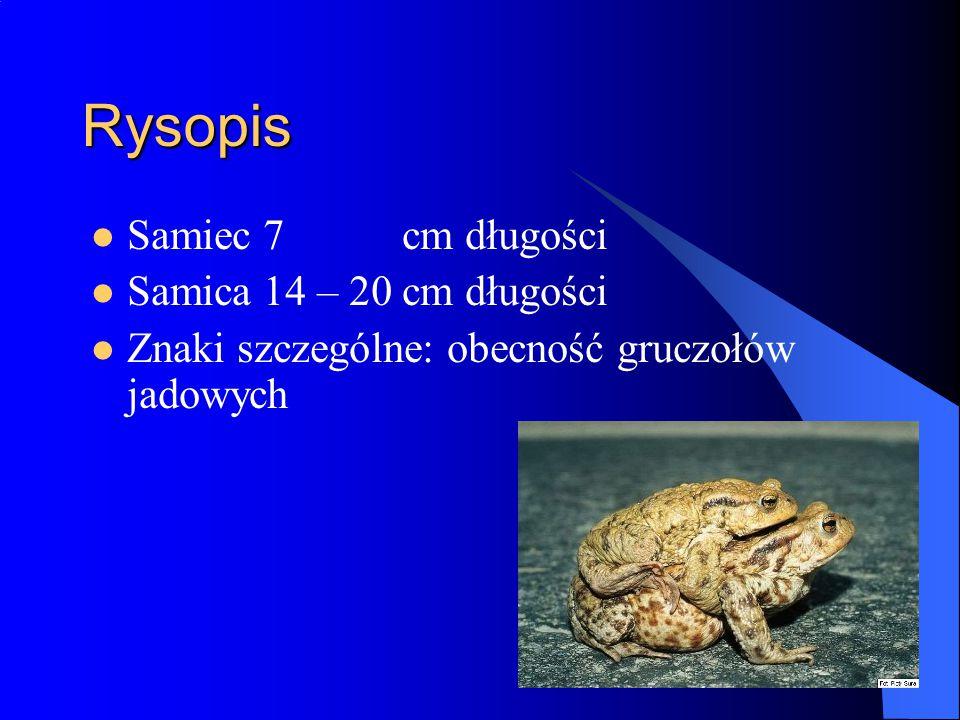 Rysopis Samiec 7 cm długości Samica 14 – 20 cm długości