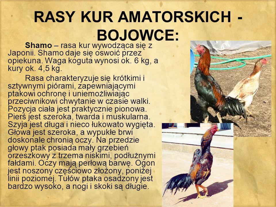 RASY KUR AMATORSKICH - BOJOWCE: