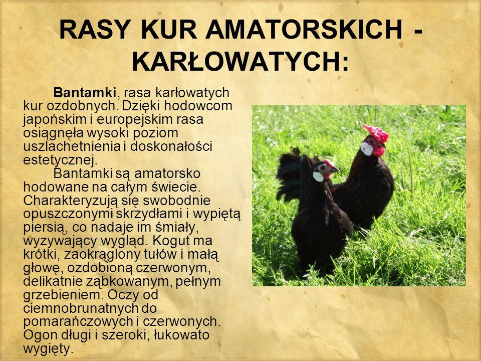 RASY KUR AMATORSKICH - KARŁOWATYCH: