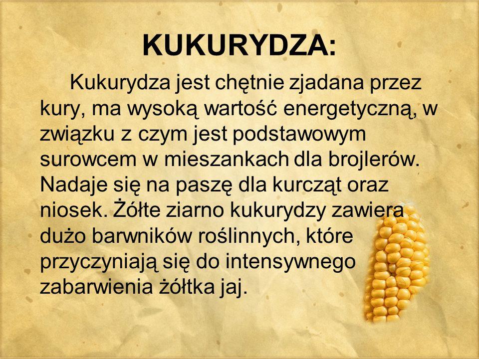 KUKURYDZA: