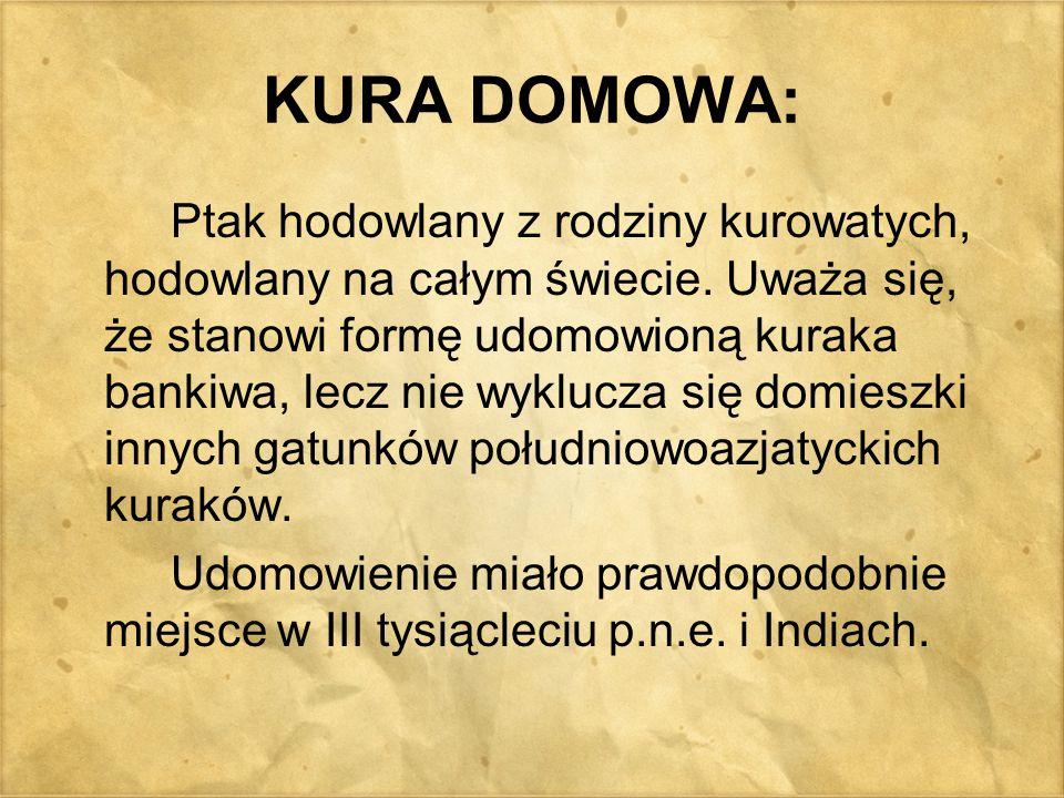 KURA DOMOWA: