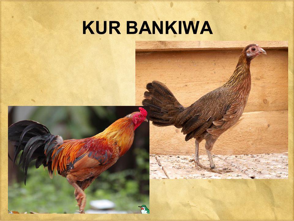 KUR BANKIWA