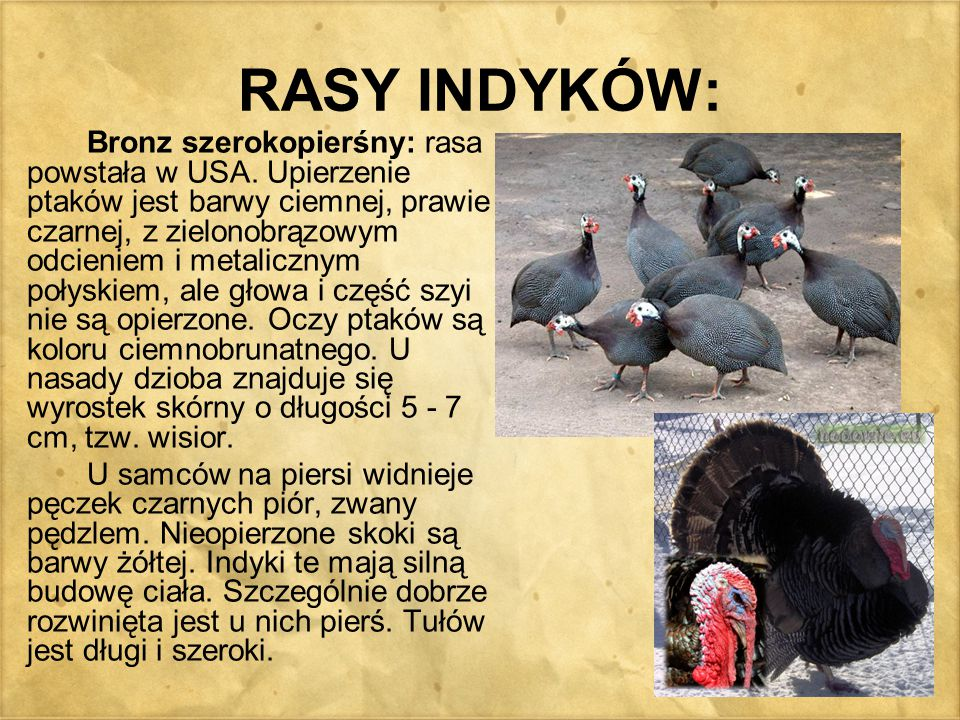 RASY INDYKÓW:
