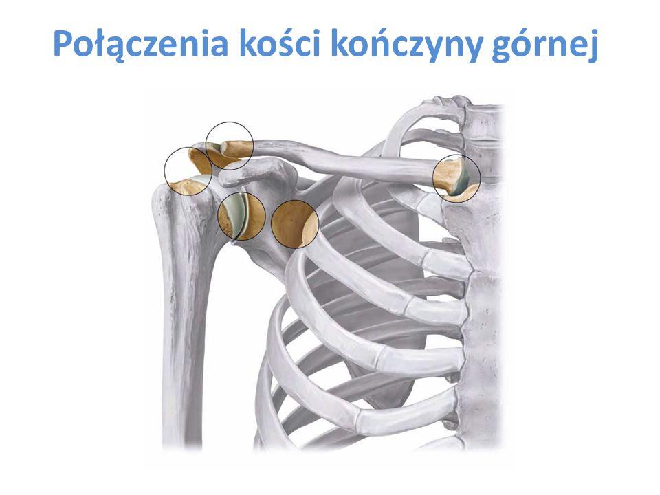 Połączenia kości kończyny górnej