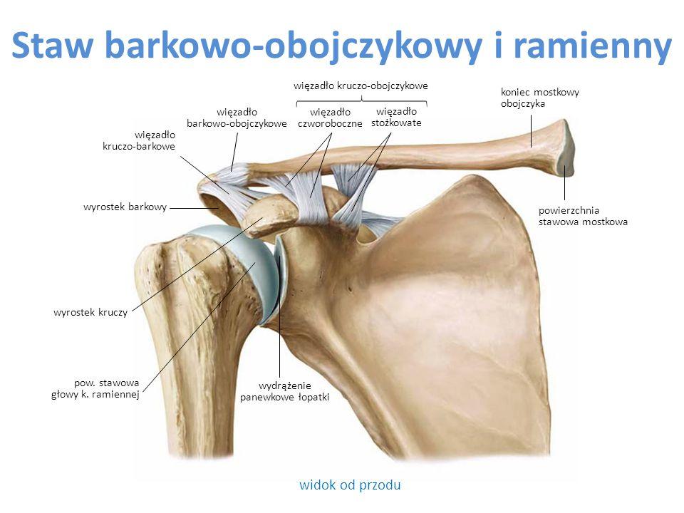 Staw barkowo-obojczykowy i ramienny