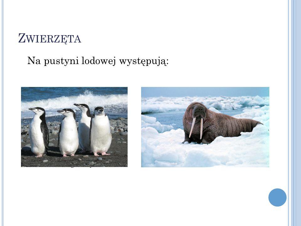 Zwierzęta Na pustyni lodowej występują: Pingwiny Mors