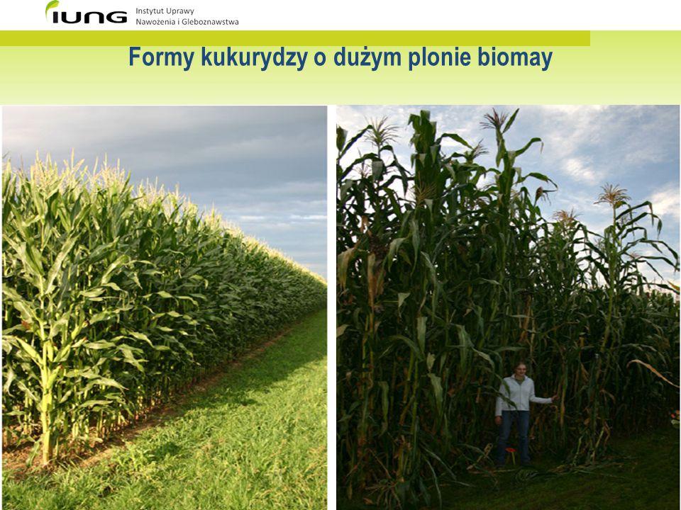Formy kukurydzy o dużym plonie biomay