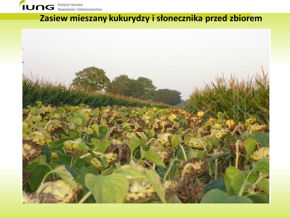 Zasiew mieszany kukurydzy i słonecznika przed zbiorem