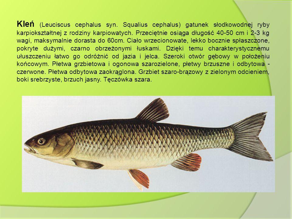 Kleń (Leuciscus cephalus syn