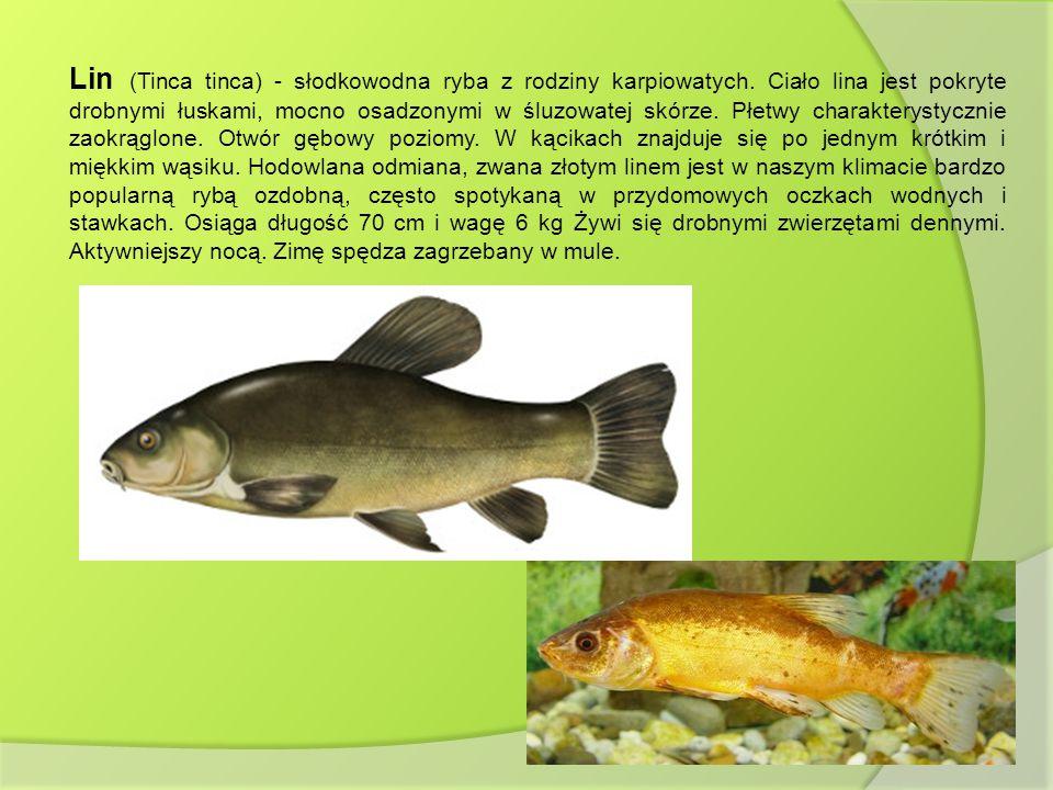 Lin (Tinca tinca) - słodkowodna ryba z rodziny karpiowatych