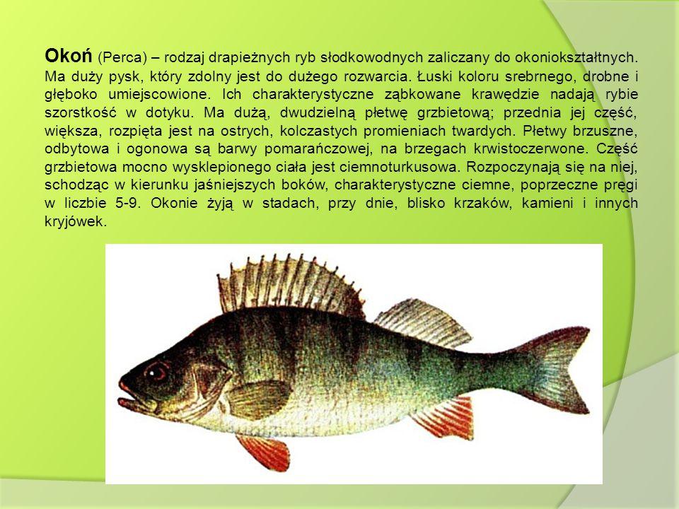 Okoń (Perca) – rodzaj drapieżnych ryb słodkowodnych zaliczany do okoniokształtnych.