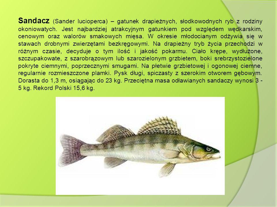 Sandacz (Sander lucioperca) – gatunek drapieżnych, słodkowodnych ryb z rodziny okoniowatych.