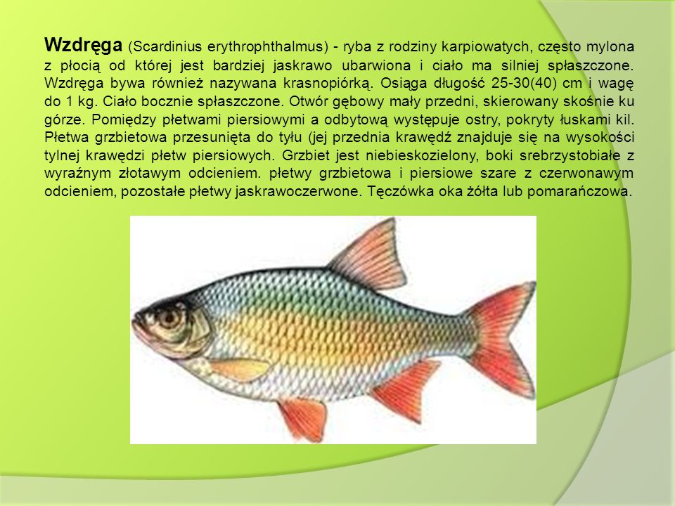 Wzdręga (Scardinius erythrophthalmus) - ryba z rodziny karpiowatych, często mylona z płocią od której jest bardziej jaskrawo ubarwiona i ciało ma silniej spłaszczone.