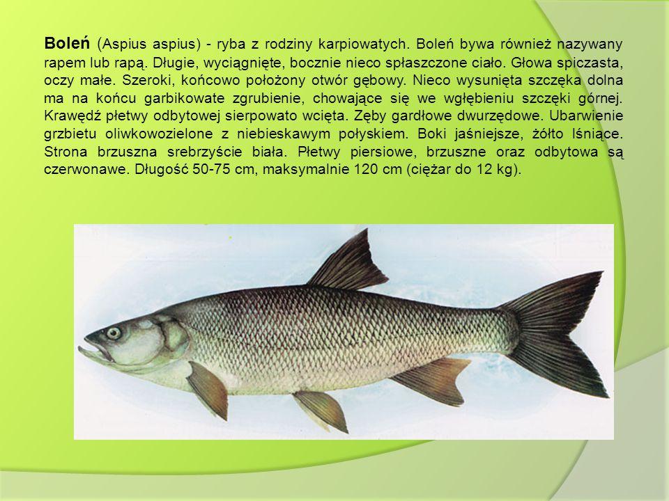 Boleń (Aspius aspius) - ryba z rodziny karpiowatych