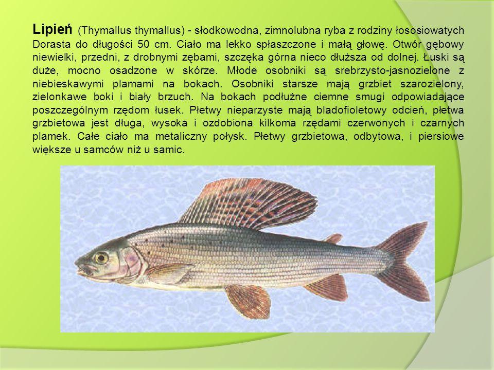 Lipień (Thymallus thymallus) - słodkowodna, zimnolubna ryba z rodziny łososiowatych Dorasta do długości 50 cm.