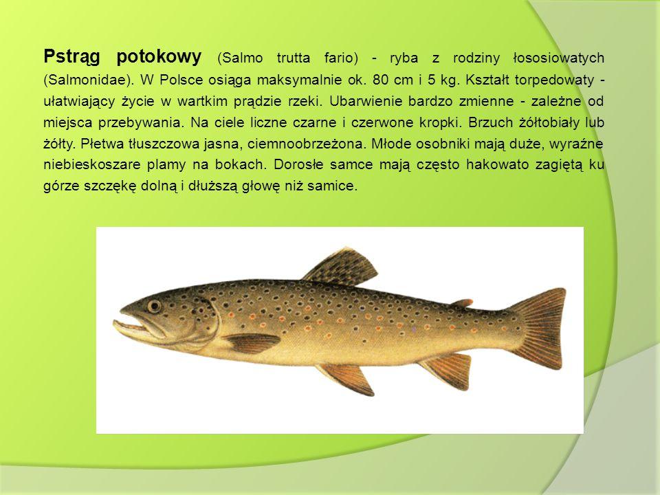 Pstrąg potokowy (Salmo trutta fario) - ryba z rodziny łososiowatych (Salmonidae).