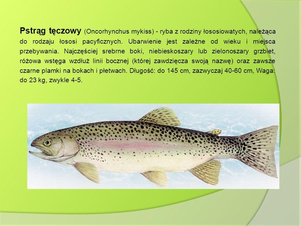 Pstrąg tęczowy (Oncorhynchus mykiss) - ryba z rodziny łososiowatych, należąca do rodzaju łososi pacyficznych.
