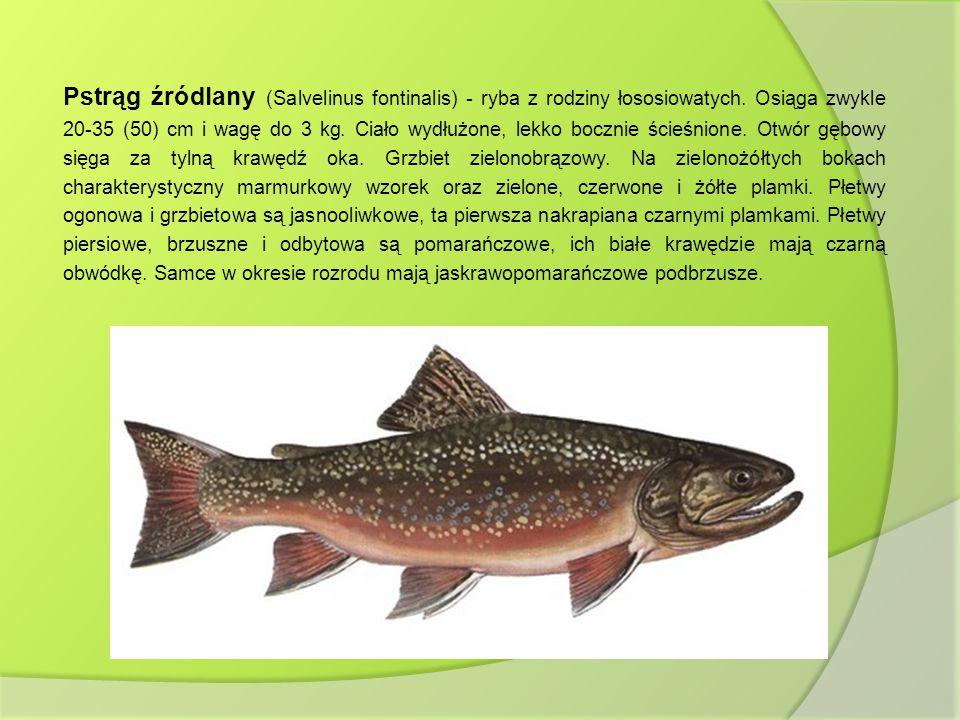 Pstrąg źródlany (Salvelinus fontinalis) - ryba z rodziny łososiowatych
