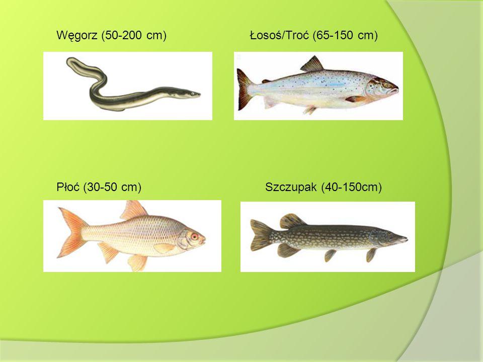 Węgorz (50-200 cm) Łosoś/Troć (65-150 cm) Płoć (30-50 cm) Szczupak (40-150cm)