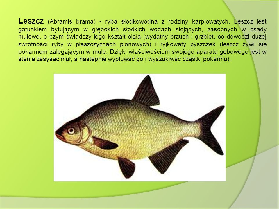 Leszcz (Abramis brama) - ryba słodkowodna z rodziny karpiowatych