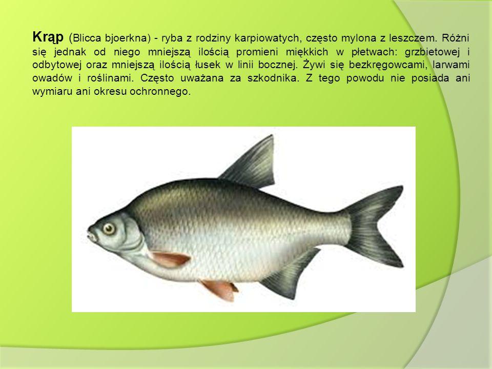 Krąp (Blicca bjoerkna) - ryba z rodziny karpiowatych, często mylona z leszczem.