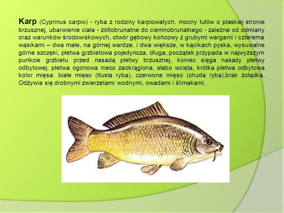 Karp (Cyprinus carpio) - ryba z rodziny karpiowatych