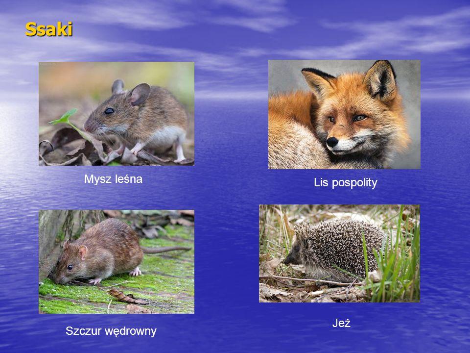 Ssaki Mysz leśna Lis pospolity Jeż Szczur wędrowny