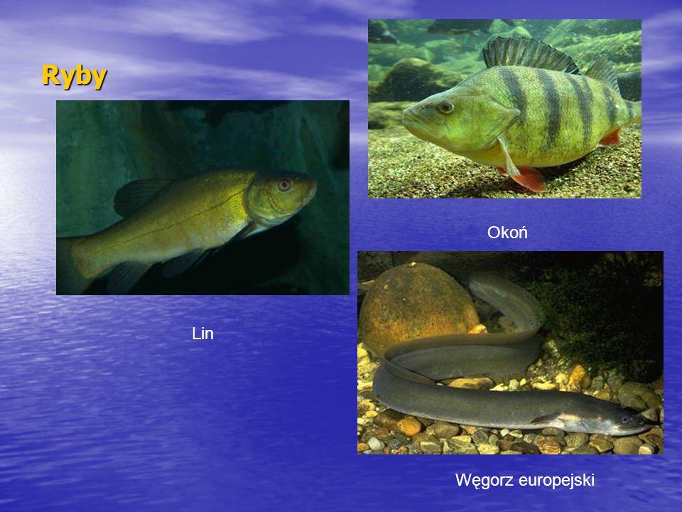 Ryby Okoń Lin Węgorz europejski