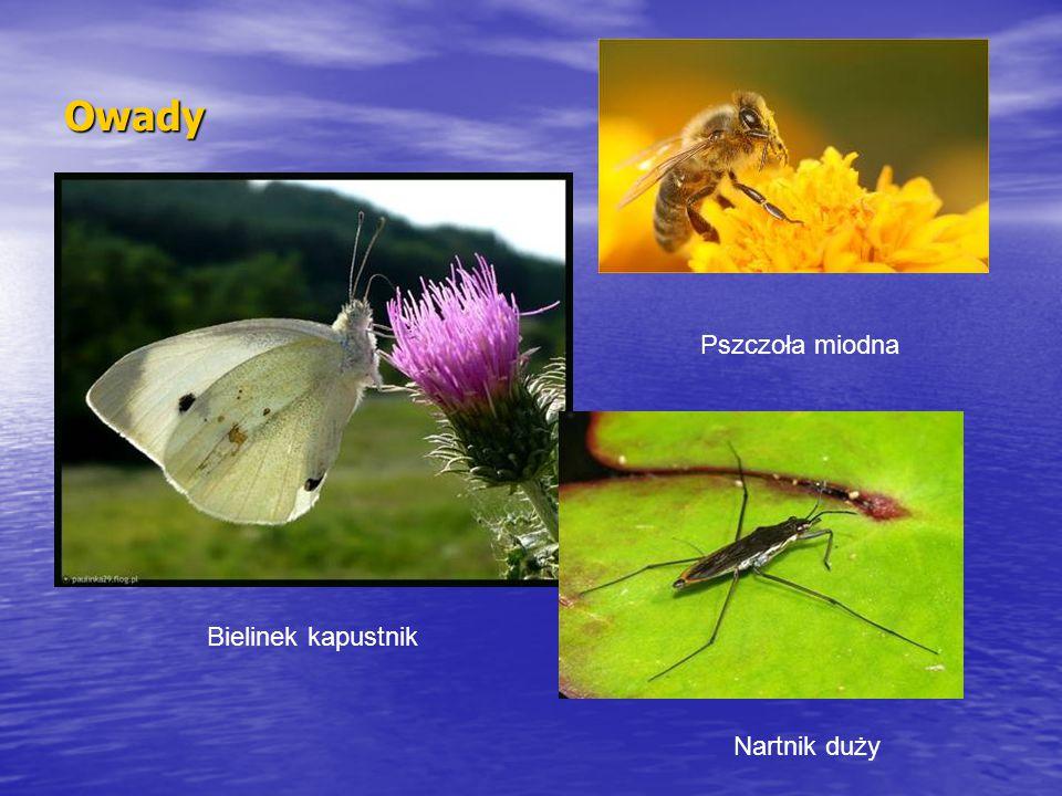 Owady Pszczoła miodna Bielinek kapustnik Nartnik duży