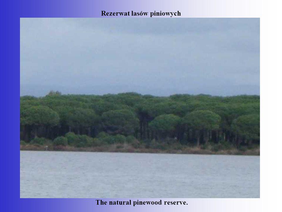 Rezerwat lasów piniowych