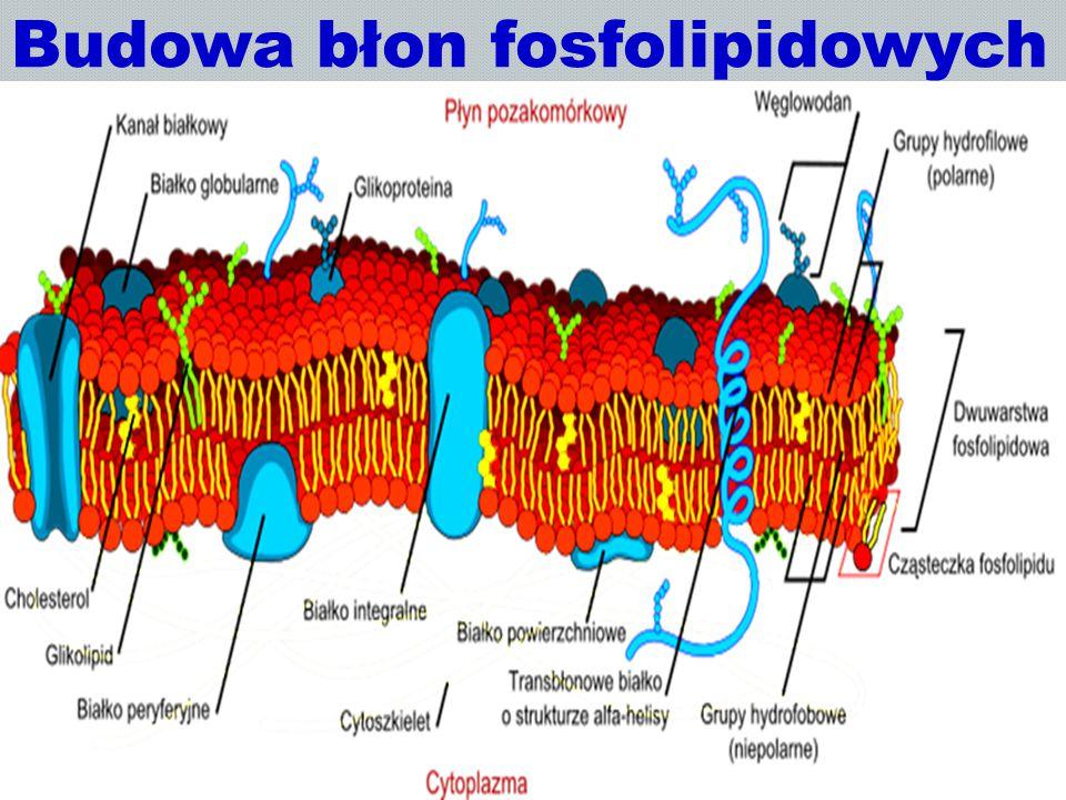 Budowa błon fosfolipidowych