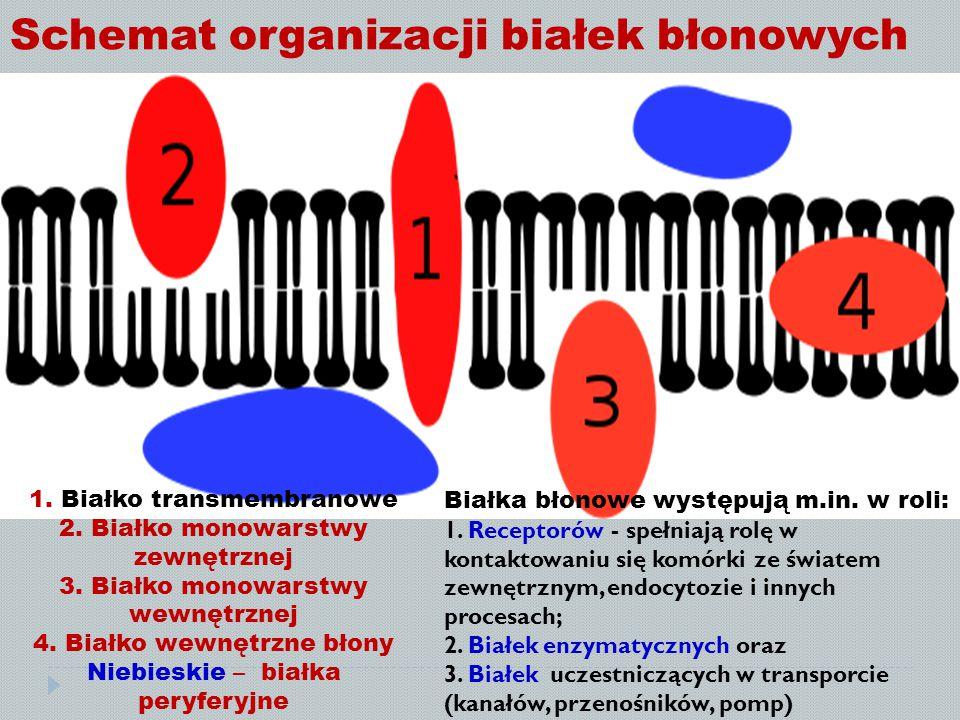 Schemat organizacji białek błonowych