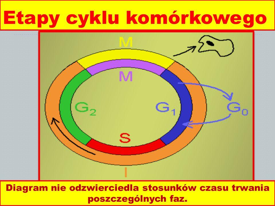 Etapy cyklu komórkowego