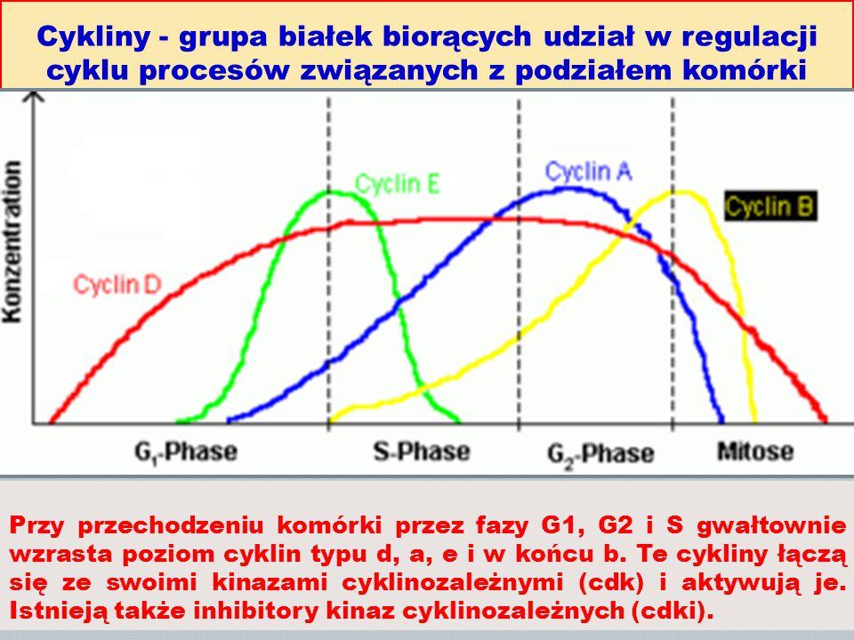 Cykliny - grupa białek biorących udział w regulacji cyklu procesów związanych z podziałem komórki