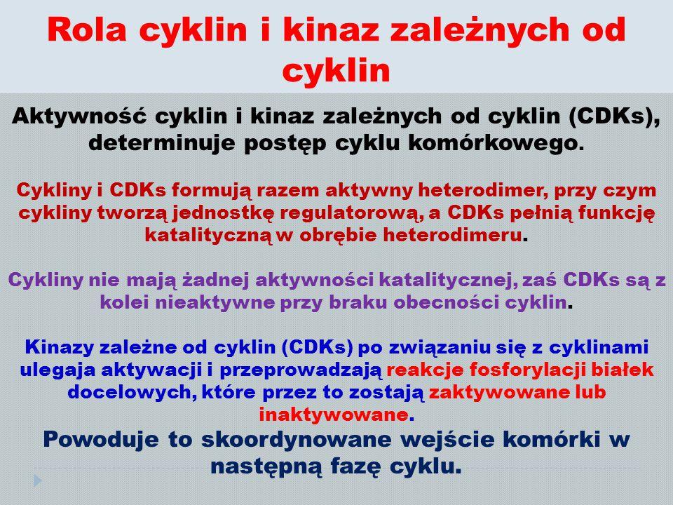 Rola cyklin i kinaz zależnych od cyklin