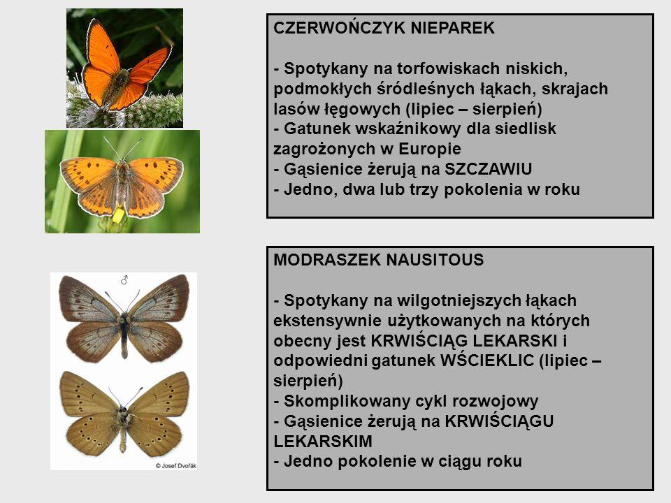 CZERWOŃCZYK NIEPAREK - Spotykany na torfowiskach niskich, podmokłych śródleśnych łąkach, skrajach lasów łęgowych (lipiec – sierpień)
