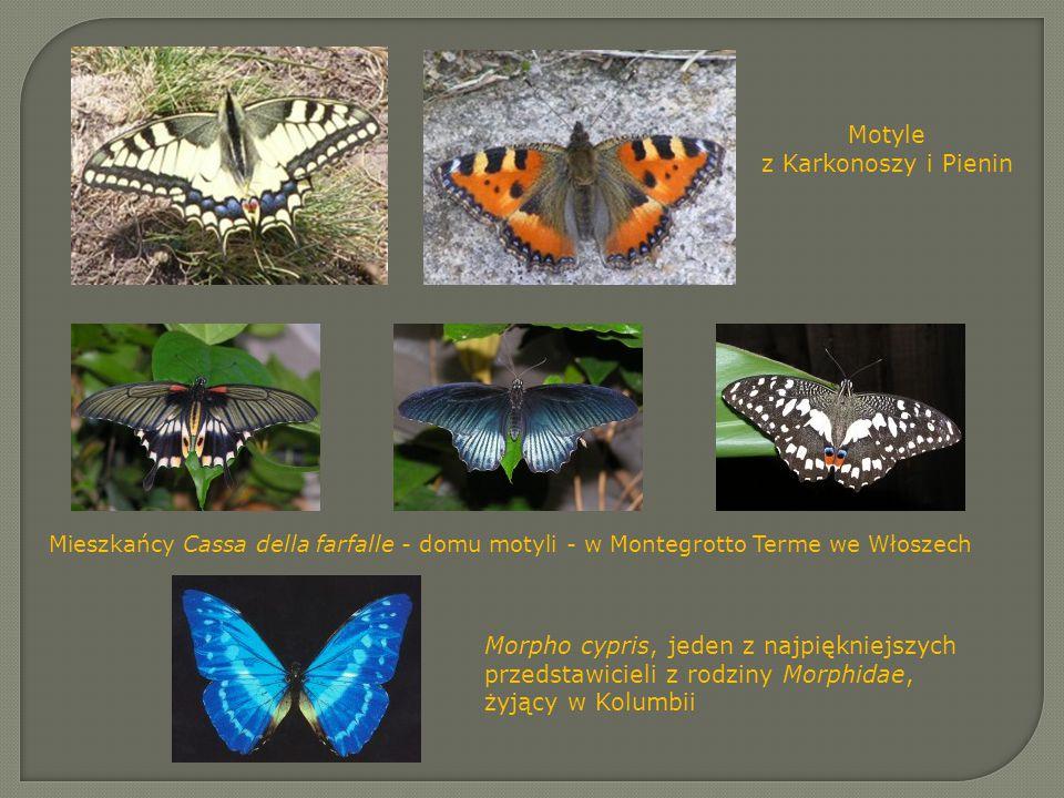 Motyle z Karkonoszy i Pienin