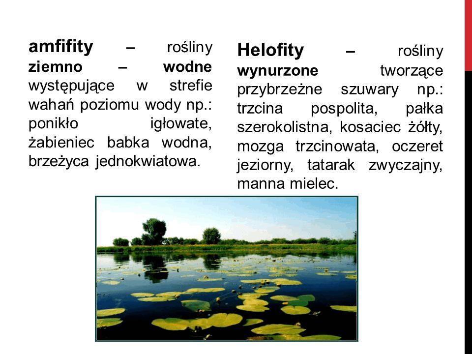amfifity – rośliny ziemno – wodne występujące w strefie wahań poziomu wody np.: ponikło igłowate, żabieniec babka wodna, brzeżyca jednokwiatowa.