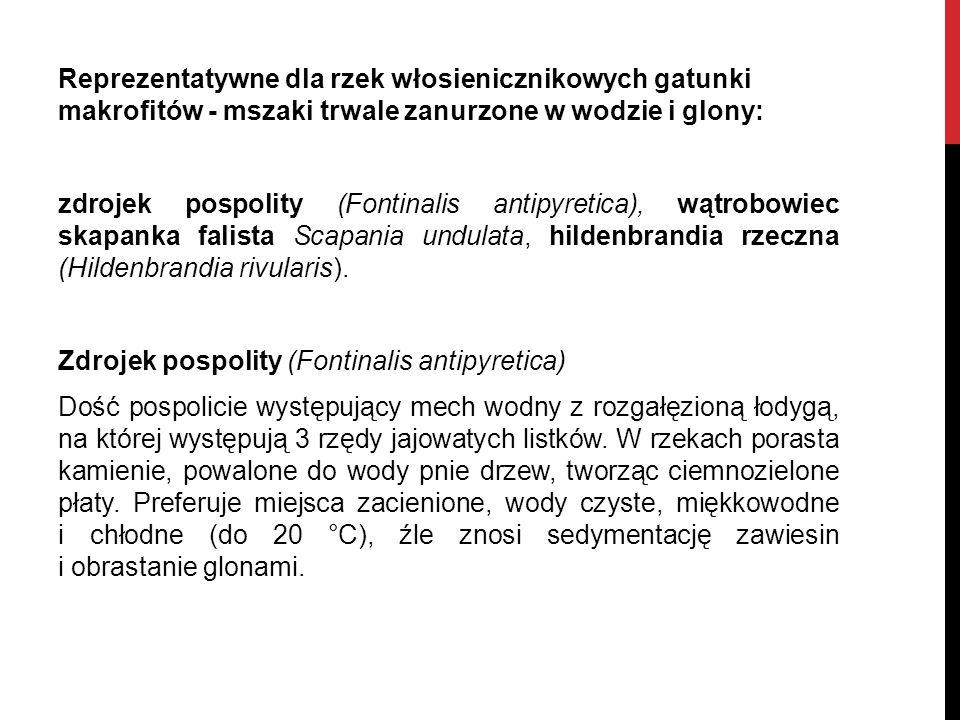 Reprezentatywne dla rzek włosienicznikowych gatunki makrofitów - mszaki trwale zanurzone w wodzie i glony: zdrojek pospolity (Fontinalis antipyretica), wątrobowiec skapanka falista Scapania undulata, hildenbrandia rzeczna (Hildenbrandia rivularis).